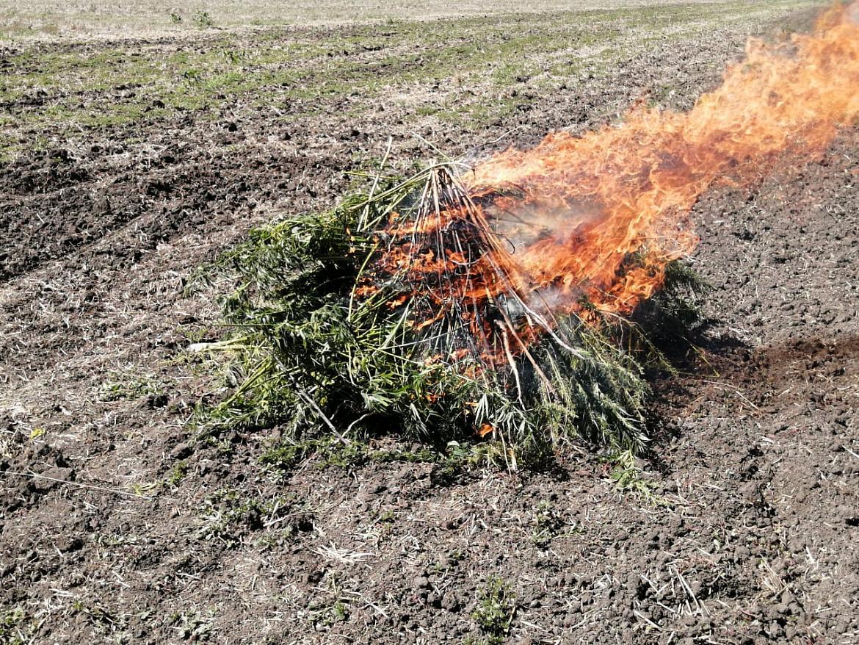 Очагов уничтожению конопли дикорастущей по меры конопля тверская область